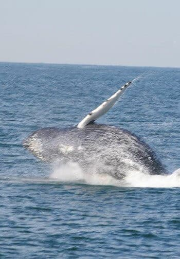A grey whale leaps out of the ocean in a spray of white water.